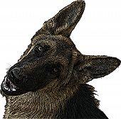 Brown German Shepherd Illustration