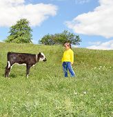 pic of farm animals  - The Child and calf on meadow - JPG