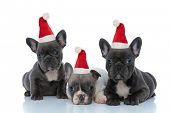 Adorable French bulldog puppies wearing santa hats  while laying down and sitting side by side on wh poster