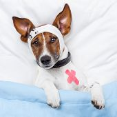 stock photo of bandage  - Sick Dog With Bandages Lying On Bed - JPG