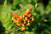 Dense Bunch Of Trumpet Vine Or Campsis Radicans Or Trumpet Creeper Or Cow Itch Vine Or Hummingbird V poster