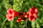 Single Branch Of Trumpet Vine Or Campsis Radicans Or Trumpet Creeper Or Cow Itch Vine Or Hummingbird poster