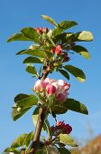 James Grieve apple blossom against a blue sky