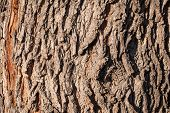 Texture Of The Bark Of Old Maple Tree. Cracked Bark, Embossed Texture Of The Maple poster