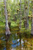 Bald Cypress TreesSwamp
