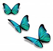 foto of butterfly  - Three turquoise butterflies isolated on white background - JPG