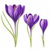 Vektor-Illustration der drei Krokus Blumen