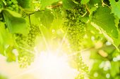 Fresh Green Grapes On Vine. Defocus