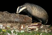 European Badger (Meles meles) at night sniffing a log