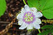 Folha e flor de maracujá nos parques