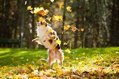 pic of australian shepherd  - young merle Australian shepherd playing with leaves in autumn - JPG