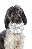 Portrait Of A Decorative Doggie With A Bow.