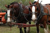 Clydesdales in harness