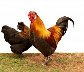 Silkie pekin bantam cross chickens