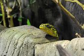 picture of snakehead  - A knig rat snake peeking over some rocks - JPG