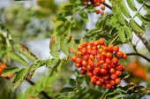 pic of rowan berry  - Sorbus aucuparia rowan or mountain - JPG