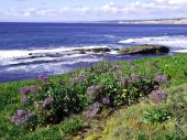 Lilac Flower Meadow Along The Pacific Ocean