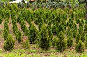 Christmas Trees farm