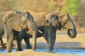 Elephant, African - Wildlife Background from Africa - Beautiful Wrinkles and Mud Bath