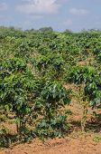 coffee plantation.