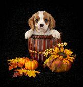 Little King Cavalier Puppy