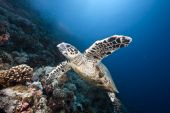 Ocean, Sun And Hawksbill Turtle