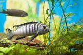 Chilumba Zebra Fish