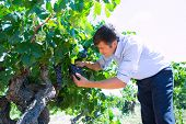 Winemaker oenologist checking bobal wine grapes ready for harvest in Mediterranean