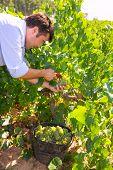 chardonnay harvesting with harvester farmer winemaker in Mediterranean
