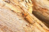 Long Horned Beetle On Tree