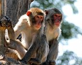 Two Japanese Macaques Clinging