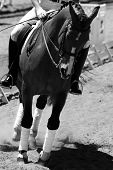 Dressage/Equestrian Riding #1 (BW)