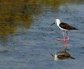 Black-winged Stilt Bird With Tapered Legs Walking