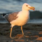 Seagull On The Shore Of The Beach