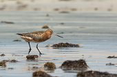 Bar-tailed Godwit In Breeding Plumage On The Beach