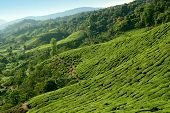 stock photo of cameron highland  - Close up picture of tea plantation taken in Cameron Highlands Malaysia - JPG