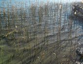 Sedge in marsh