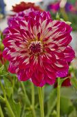dahlia flower colorful background