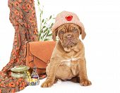 Puppy Of French Mastiff Breed