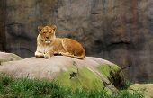 Lioness watching from a large boulder with stone background and leading edge grass