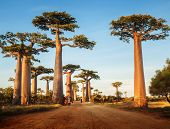 picture of baobab  - Baobab trees along the rural road at sunny day - JPG
