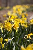 Row Of Yellow Daffodil Flowers In The Spring