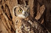 Portrait of a spotted eagle-owl (Bubo africanus), Kalahari, South Africa