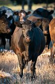 Black Cattle