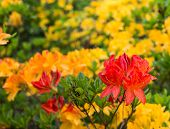 stock photo of molly  - Twigs with orange colored buds of a Japanese Azalea or Rhododendron molle subsp. japonicum shrub. ** Note: Shallow depth of field - JPG