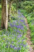 Pathway with Bluebells in forest