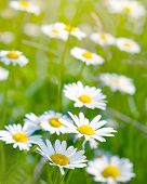 White and yellow daisies