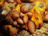 Tubercle sea cucumber