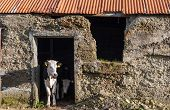 calves in rural stone shed