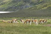 Patagonian Landscape With Vicunas, Lake And Mountains.